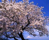 Mount Fuji CXII. Cherry blossoms in full bloom with Mount Fuji in the background Stock Photos