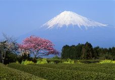 Mount Fuji I. N Springtime with tea fields and plum blossoms in foreground