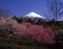 Mount Fuji IV. Mount Fuji with red and white plum blossoms Stock Photos