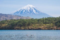 Mount Fuji from lake Saiko with gooses in spring Royalty Free Stock Photo