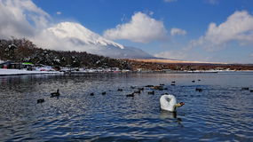 Mount Fuji and lake with swans and ducks Stock Images