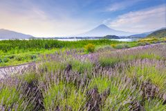 Mount Fuji and Lavender Field at Oishi Park, Kawaguchiko Lake in Summer, Japan. Mount Fuji and Lavender Field royalty free stock photos