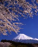 Mount Fuji LV. Beautiful cherry blossoms with snow-capped Mount Fuji Royalty Free Stock Photos
