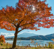 Mount Fuji with maple tree. Beautiful scene of mount Fuji in autumn season and beautiful maple leaves and tree at Lake Kawaguchiko, Japan Royalty Free Stock Photography