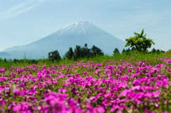 Mount fuji and pink moss at japan ,selective focus blur foreground Royalty Free Stock Photography