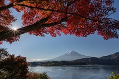 Mount Fuji with a red maple tree in the foreground royalty free stock photography