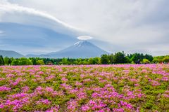 Mount Fuji sikt bak färgrikt blommafält på Fuji Shibazakura Fastival, Japan royaltyfria bilder