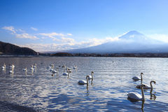 Mount Fuji with swans swimming in the lake in the foreground. Stock Photos
