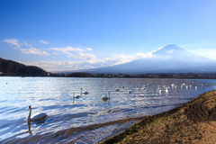 Mount Fuji with swans swimming in the lake in the foreground. Stock Images
