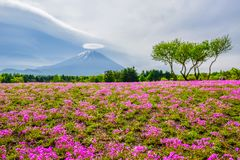 Mount Fuji view behind colorful flower field at Fuji Shibazakura Fastival, Japan Stock Images