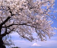 Mount Fuji XC. Cherry blossoms in full bloom with Mount Fuji in the background Stock Images