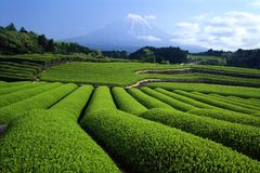 Mount Fuji XLII. Luscious green tea fields at the foot of Mt. Fuji Royalty Free Stock Photos