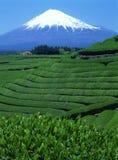 Mount Fuji XLIX. Green tea fields with Mount Fuji Royalty Free Stock Image