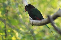Mount Goliath Papuan lory Stock Photo