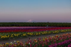 Mt. Hood and Tulip Field at Twilight Royalty Free Stock Image