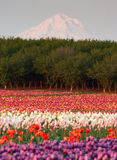 Mount Hood Fruit Orchard Tulip Field Flower Grower Farm Royalty Free Stock Photography