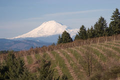 Mount Hood from Hood River. Oregon's Mount Hood as seen from an orchard in Hood River, Oregon stock image