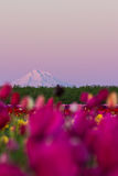 Mount Hood from the tulip farm Stock Photos