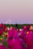 Mount Hood from the tulip farm stock photos