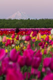 Mount Hood from the tulip farm royalty free stock photo