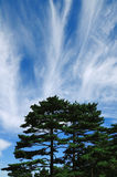 Mount Huangshan Pine,, incredible china Royalty Free Stock Images
