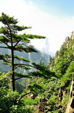 Mount Huangshan Pine,incredible china Royalty Free Stock Image