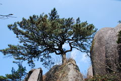 Mount Huangshan scenery. Chinese Mount Huangshan odd shaped pines Stock Photography