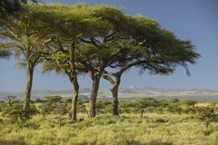 Mount Kenya and Acacia Trees at Lewa Conservancy, Kenya, Africa Stock Photography