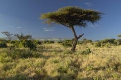 Mount Kenya and lone Acacia Tree at Lewa Conservancy, Kenya, Africa Stock Photography