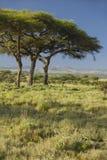 Mount Kenya och akaciaträd på Lewa naturvård, Kenya, Afrika Fotografering för Bildbyråer