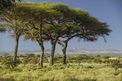 Mount Kenya och akaciaträd på Lewa naturvård, Kenya, Afrika Arkivbild