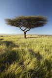 Mount Kenya och ensamt akaciaträd på Lewa naturvård, Kenya, Afrika Arkivbild