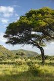 Mount Kenya och ensamt akaciaträd på Lewa naturvård, Kenya, Afrika Royaltyfri Fotografi