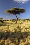 Mount Kenya och ensamt akaciaträd på Lewa naturvård, Kenya, Afrika Arkivfoto
