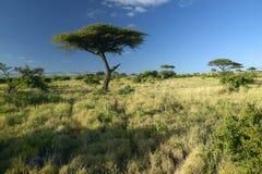 Mount Kenya och ensamt akaciaträd på Lewa naturvård, Kenya, Afrika Arkivbilder