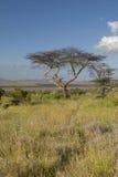 Mount Kenya und einziger Akazien-Baum an Lewa-Erhaltung, Kenia, Afrika Lizenzfreies Stockbild