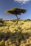 Mount Kenya und einziger Akazien-Baum an Lewa-Erhaltung, Kenia, Afrika Stockfoto