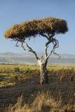 Mount Kenya und einziger Akazien-Baum an Lewa-Erhaltung, Kenia, Afrika Lizenzfreie Stockfotografie