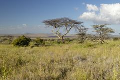 Mount Kenya und einziger Akazien-Baum an Lewa-Erhaltung, Kenia, Afrika Stockbild