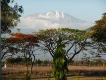 Mount Kilimanjaro. A snow-topped Mount Kilimanjaro with trees in the foreground Stock Photos