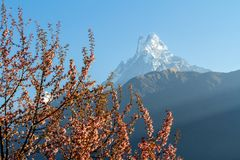 Mount Machapuchare from Nepali meaning `fishtail`against the backdrop of a flowering tree, Annapurna Conservation Area, stock images