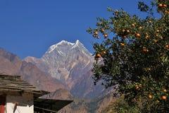 Mount Nilgiri and branch with mandarins Stock Photography