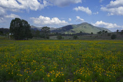 Mount Perry over a flowery field. Stock Images