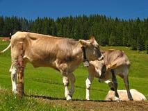 Mount Pilatus Cattle 01 royalty free stock photos