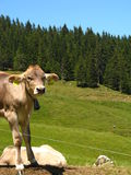 Mount Pilatus Cattle 04 Stock Photography