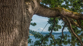 Mount Rainier And Tree Royalty Free Stock Photography