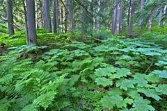 Mount Revelstoke National Park Stock Image