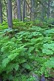 Mount Revelstoke National Park Royalty Free Stock Image