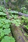Mount Revelstoke National Park Royalty Free Stock Images