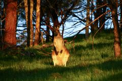 Wallaby surprised at sunset, Mt Rouse Lookout, Penhurst, Victoria, Australia,. Mount Rouse is an extinct volcano that lies in the charming town of Penshurst stock photography